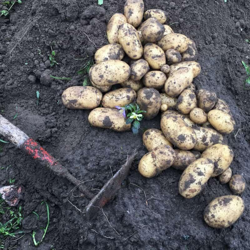How to Grow Potatoes (like a Finn)