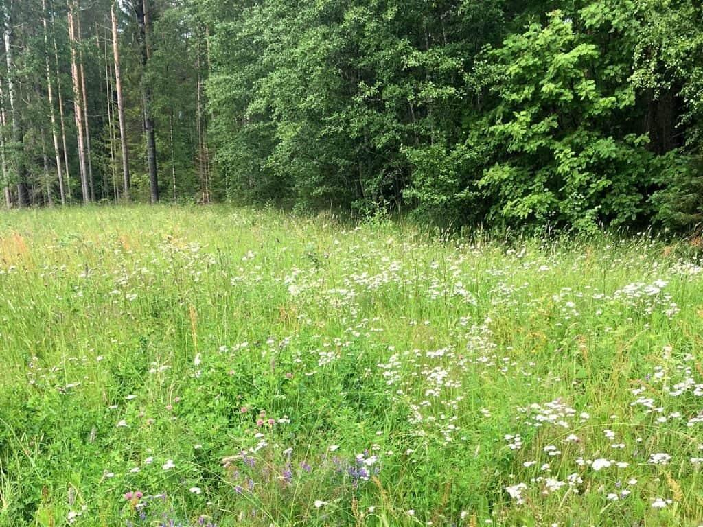 Foraging edible plants in Finland by Her Finland blog