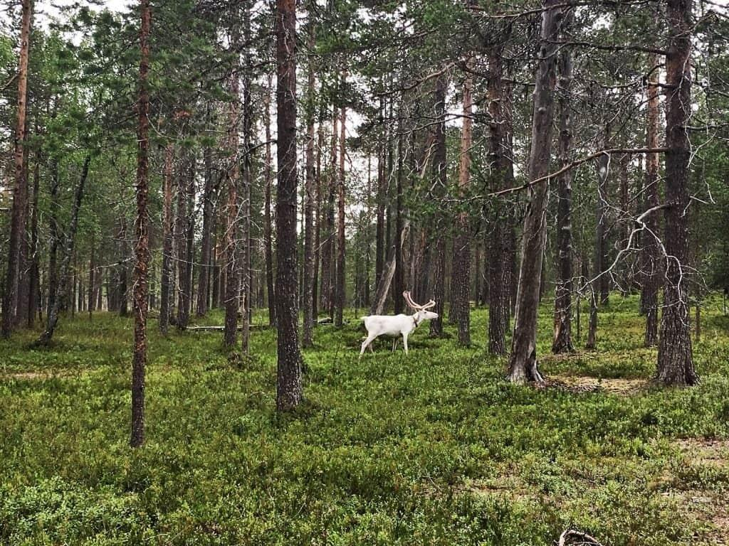 lapland day trip lappish reindeer by Her Finland blog