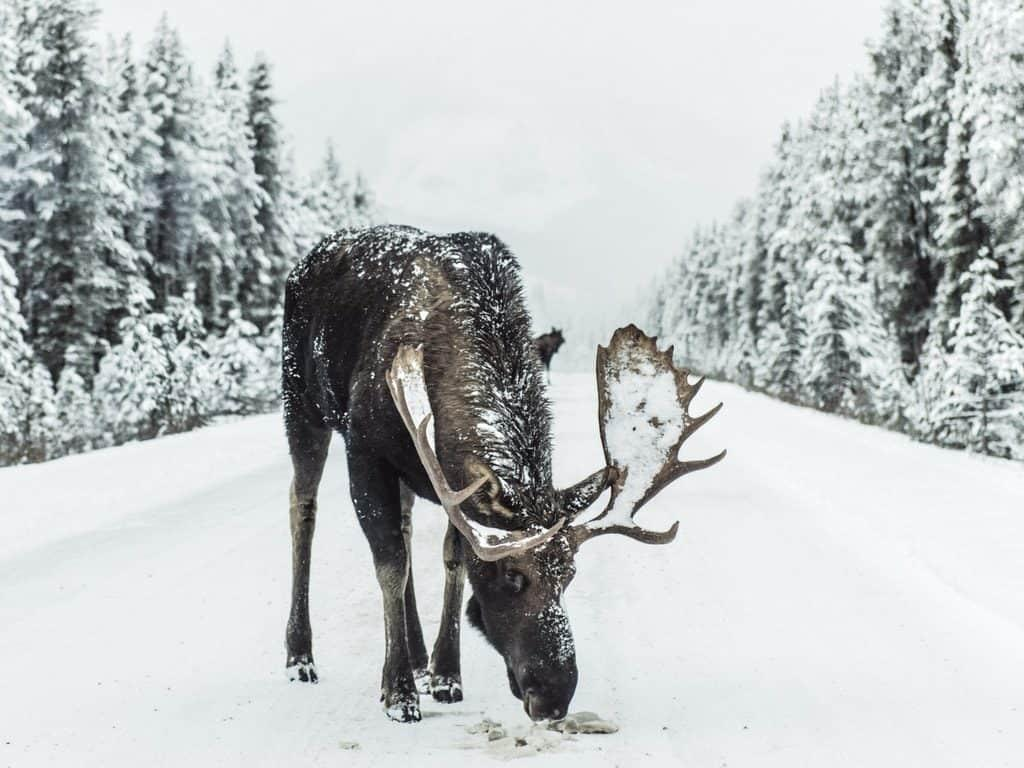 Driving in winter Finland - elks on the roads: Her Finland blog