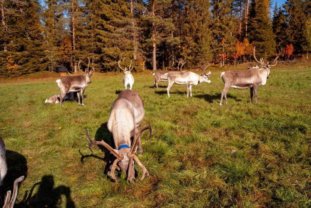 7 reindeer grazing the land