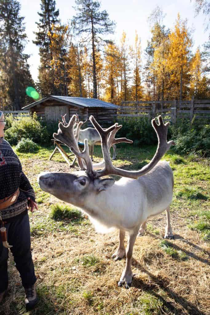 Reindeer sniffing someone's hand